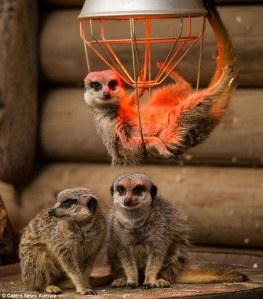 meerkat-heatlap